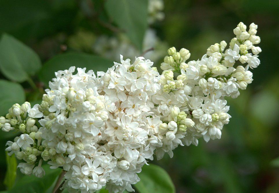 Lilas Blancas Silvestres Imagenes Y Fotos
