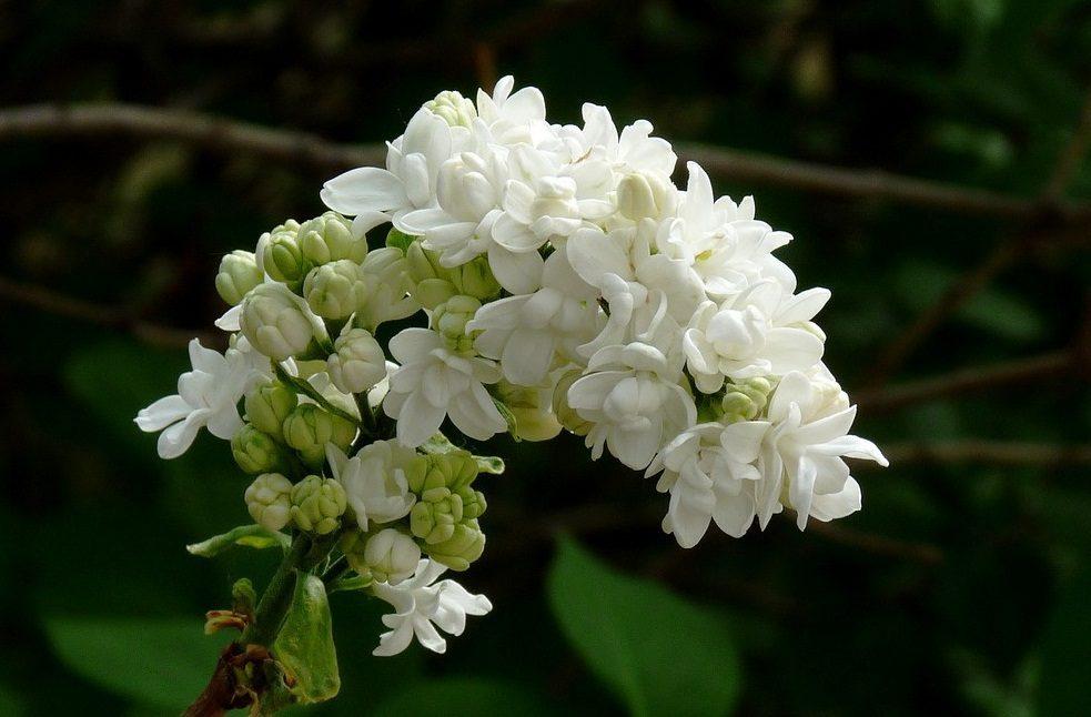 Lilas Silvestres Blancas Imagenes Y Fotos